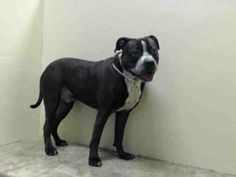 Brooklyn Center   ROCKY - A0995005   NEUTERED MALE, BLACK / WHITE, STAFFORDSHIRE MIX, 2 yrs STRAY - EVALUATE, NO HOLD Reason STRAY Intake condition NONE Intake Date 03/27/2014, From NY 11232, DueOut Date 03/30/2014, Medical Behavior Evaluation GREEN https://www.facebook.com/photo.php?fbid=778460798833468&set=a.617941078218775.1073741869.152876678058553&type=3&theater