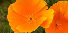 Die goldene Heilpflanze: der kalifornische Mohn und seine wunderbaren Eigenschaften in der Pflanzenheilkunde Plants, Indie, California, Studio, Herbal Medicine, Gold, Natural Medicine, Medicinal Plants, Studios