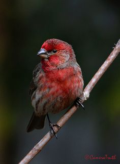 Male House Finch      @ cameratruth2  (A pair of house finches has recently built a nest in the wreath on my front door!)