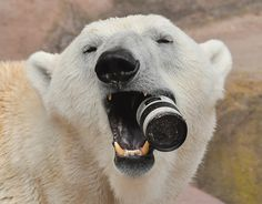 Felix the polar bear chews on a £1,300 camera lens dropped into his enclosure at Nuremberg Zoo, Germany. The giant 10ft bear quickly investigated the new toy, before realising it couldn't be eaten and hurled it into his pool.