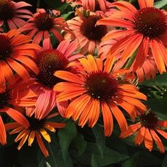 Echinacea 'Butterfly Orange Skipper'. Ordered 5/28/2016. Planted 6/4/2016.