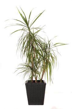 a Dracaena marginata house plant