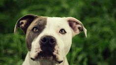 pitbull funny pictures | funny pitbull dog iphone wallpaper - HD Background