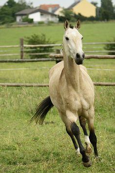 This buckskin horse is so cute! http://www.stylemyride.net/ @SMRequestrian