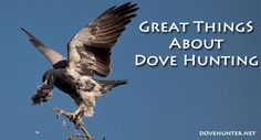 Find out what are great things about dove hunting and why most hunters prefer dove hunting rather than big game hunters.