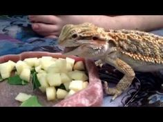 There are so many ways that feeding bearded dragons can go wrong and shorten the lifespan of your pet Don t fall for the common mistakes - this guide and know all Fancy Bearded Dragon, Bearded Dragon Diet, Bearded Dragon Habitat, Pet Turtle, Pet Dragon, Mother Of Dragons, Dog Agility, Best Diets, Dog Accessories