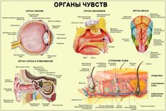 Органы чувств Eye Anatomy, Human Anatomy, Teaching Science, Science For Kids, Back To School Organization Highschool, Good Diet For Diabetics, Senses Activities, Cardiac Nursing, School Motivation