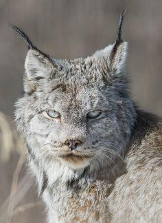 Canada lynx near Fort St John, British Columbia.