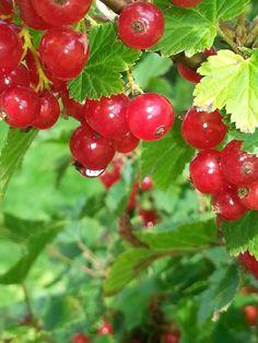 Rode bessen/red currant (berrie)