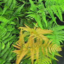 Wood Fern for sale buy Dryopteris labordei 'Golden Mist'