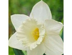 These all white Daffodils are Trumpet Daffodils and are known for their traditional daffodil shape; a large flower on one stem with an exceptionally long large trumpet.
