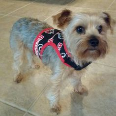 NFL Tampa Bay Buccaneers dog harness. Fun,  bright easy harness for Medium size dog (Yorkie). Easy to dress your pet.