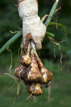 Onions - aka perennial onions, dig up bulbs in summer save some to replants in fall. Onions - aka perennial onions, dig up bulbs in summer save some to replants in fall.Onions - aka perennial onions, dig up bulbs in summer save some to replants in fall. Country Farm, Country Life, Country Living, Organic Gardening, Gardening Tips, Vegetable Gardening, Potato Onion, Garden Bulbs, Replant