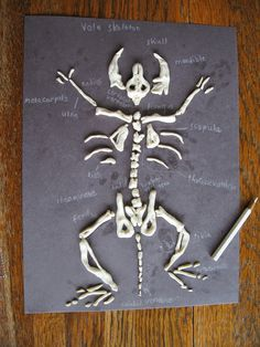 Almost Unschoolers Sculpey Clay Vole Skeletons Owl Pellet Follow Up
