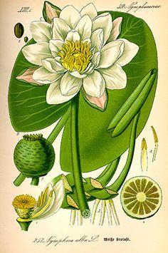 Nénuphar blanc (Nymphea alba)  Remèdes de Grand-Mère old print Water lilly