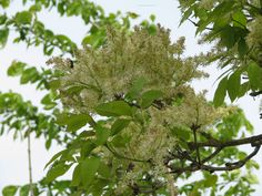 Fraxinus Ornus bloeiwijze = Pluimes bloei mei - juni