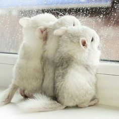 Chinchillas looking out of the window #DogsStuffForPeople