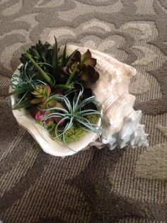 Succulent planter made with large conch shell