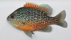 """$6 :: N. American Native! Better Than Discus: Western Dollar Sunfish - Lepomis marginatus (male shown) :: Current Size: 0.25 in, Maximum Size: 4 - 5.5 in :: """"Very Colorful Sunfish on the smaller side. Males are very territorial"""" www.zimmermansfis... BETTER THAN DISCUS! Zimmerman's N. American Native Fish!"""