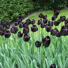 Queen's night-favorite tulip