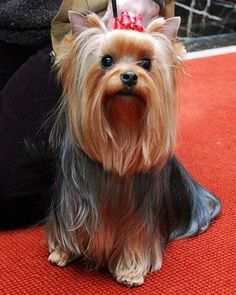 Yorkie long hair: Long Hair, Pet,