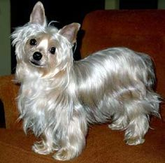 8 Best Blue And Gold Yorkie Puppies Images On Pinterest Yorkie