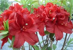 Arneson 'Ruby Princess' - Dark red flowers, leaves green in summer and maroon in autumn.