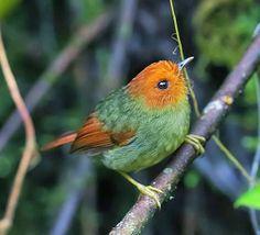 Pseudotriccus ruficeps - tyranulek rudogłowy - Rufous-headed Pygmy Tyrant