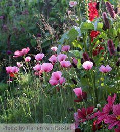 Buy Papaver dubium ssp. lecoquii var. albiflorum £7.95   Sarah Raven