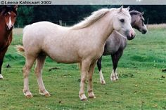 Welsh Mountain Pony (section A) - mare Blanche Glamour