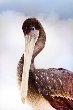 Pelican - Brookings, Oregon Brookings Oregon, Oregon Coast, Creatures, Bird, Newport, Cities, Photography, Photograph, Birds