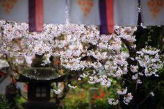 京都伏見の隠れた桜の名所の長建寺