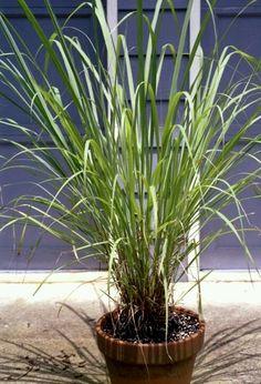 mosquiti repellant yard plants