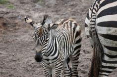 zebraatje