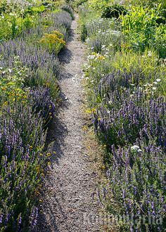 Iisopista voi leikata matalia aitoja potagerin istutuksia reunustamaan. Plant Design, Flower Beds, Planting, Shrubs, Outdoor Gardens, Grass, Country Roads, Flowers, Inspiration