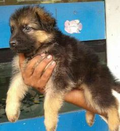 german shepherd puppies bangalore | Zoe Fans Blog