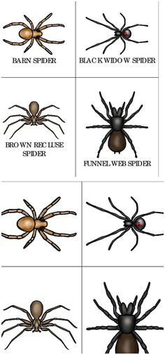 Identify different types of spiders with your toddler or preschooler with this free set of printable spider types cards. Spider Card, Spider Book, Types Of Spiders, Different Spiders, The Very Busy Spider, Insect Crafts, Spider Crafts, Spider Costume, Bubble Art