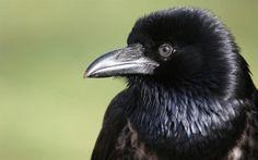 RENOVAÇÃO: Revelado o segredo da inteligência dos corvos...