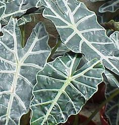 Alokazja - Alocasia Plant Leaves, Plants, Vertical Gardens, Garden, Plant, Planets