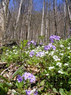 Smoky Mountain spring flowers