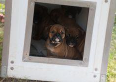 Continental Bulldog Puppies in their Walhalla® Dog House Bulldog Breeds, Bulldog Puppies, Continental Bulldog, Bulldogs, House, Animals, Animales, Home, Animaux