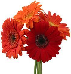 My favorite flower - Gerber Daisys