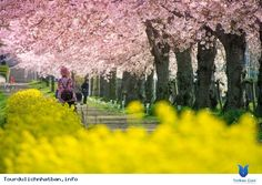 Fureaihiroba of Kizukawa city in Kyoto, Japan, the unseen place where you can find amazing sakura and nanohana (rapeseed) lying along a tiny canal. Pink Yellow, Kyoto, Country Roads, Japan, Amazing, Places, Outdoor, Outdoors, Okinawa Japan
