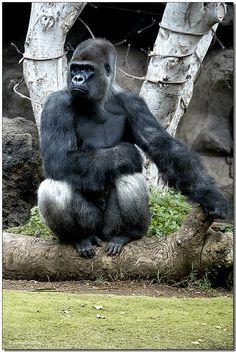 Autoridad.  La imagen escogida implica autoridad pues los gorilas son unos animales que por su fortaleza y seguridad dan la sensación de autoridad. Lo podemos relacionar con aquellos que tienen más poder imponen como han de ser la cosas, los contenidos del currículum haciendo referencia al ámbito de educación. #IyTIC3 #interroganteseducativos