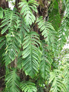 Epipremnum pinnatum leaves - Epipremnum - Wikipedia World Dictionary, Epipremnum Pinnatum, Plant Leaves, Poisonous Plants, Australian Garden, West Indies, Borneo, Bright Green, Botanical Gardens