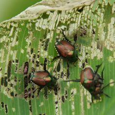 A comprehensive list of natural and 'green' ways of controlling Japanese Beetles in your gardens. Everything you need to know about Japanese Beetle control!