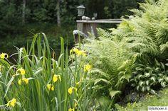 puutarha,mökki,piha,rantakasvit,kurjenmiekka
