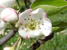 Quince flower closeup. Άνθος κυδωνιάς, λεπτομέρεια.