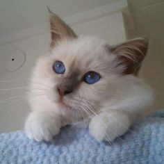 Lilac Point Mitted Ragdoll kitten