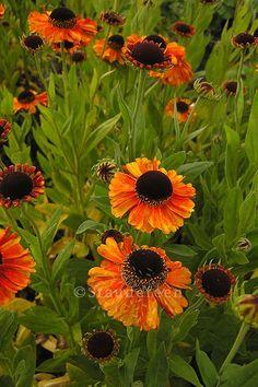 Helenium \'Sahin\'s Early Flowerer\', staudefeen.dk, Måned: Juli-september, Højde: 100-110 cm, Placering: Sol-halvskygge